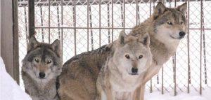 Волки. Фото Пензенского зоопарка