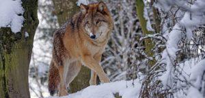 Волк. Фото pxhere.com