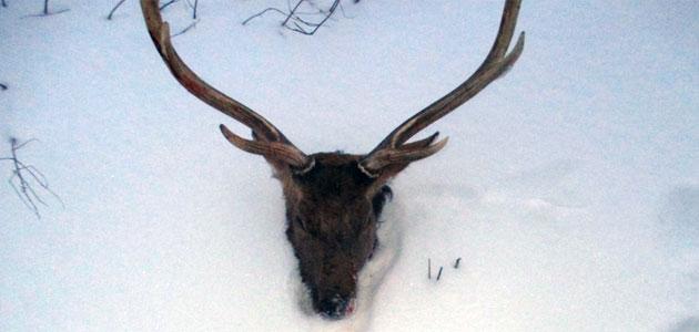 Пятнистый олень. Фото министерства лесного, охотничьего хозяйства и природопользования Пензенской области