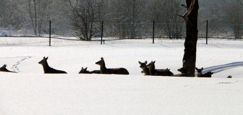 Пятнистые олени. Фото министерства лесного, охотничьего хозяйства и природопользования Пензенской области