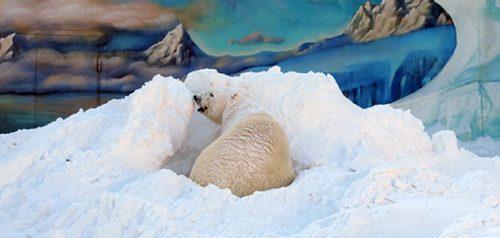 Белый медведь. Фото Пензенского зоопарка