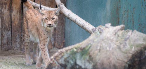 Рысь. Фото Пензенского зоопарка
