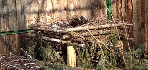 Гриф в гнезде. Фото Пензенского зоопарка