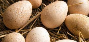 Индюшиные яйца. Фото 1inkubator.ru