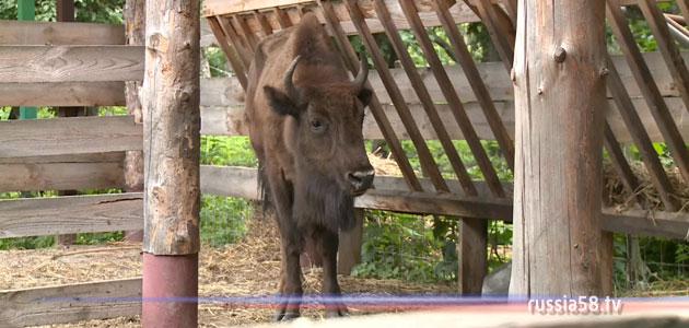 Самка зубра в Пензенском зоопарке